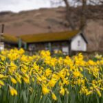 The Best The Golden Daffodils Poem Picture093