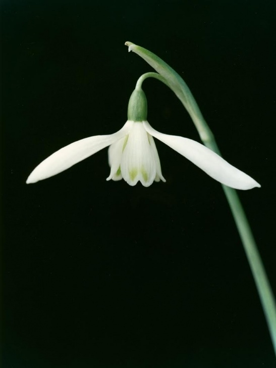 The Best To A Snowdrop William Wordsworth Pic326