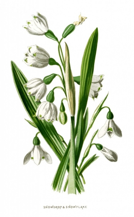 Top Children'S Poems About Snowdrops Photo017