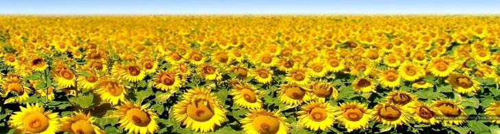 Top Sunflower Love Poem Photo175