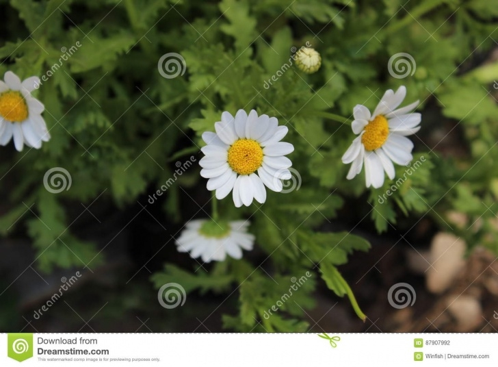 Top The Little White Daisy Poem Pic394